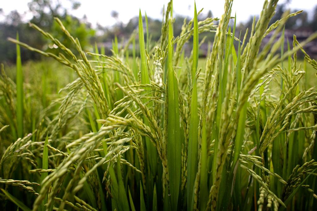 Tegalalang-rice-field-Bali7